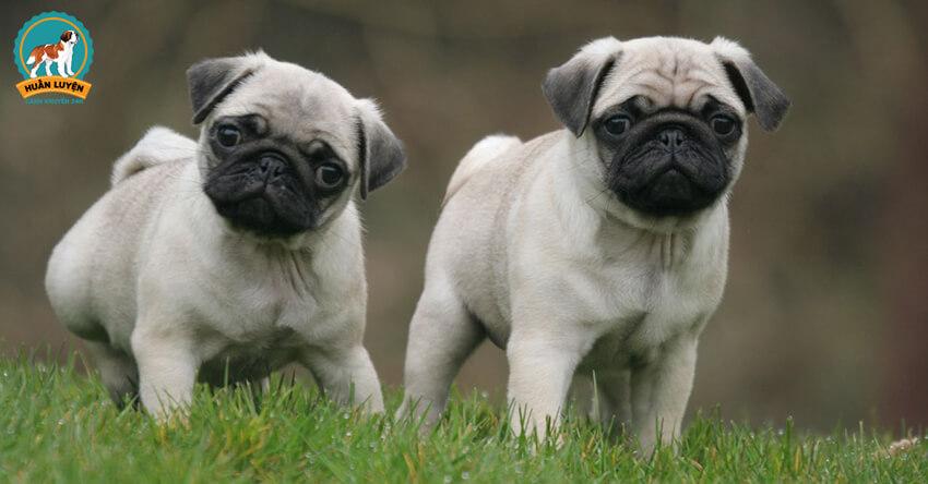[Ảnh Vui] Đừng bao giờ phối giống giữa Pug và các giống chó này