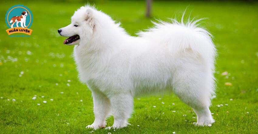 samoyed-dog