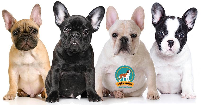 cach-nhan-biet-bulldog-phap-thuan-chung