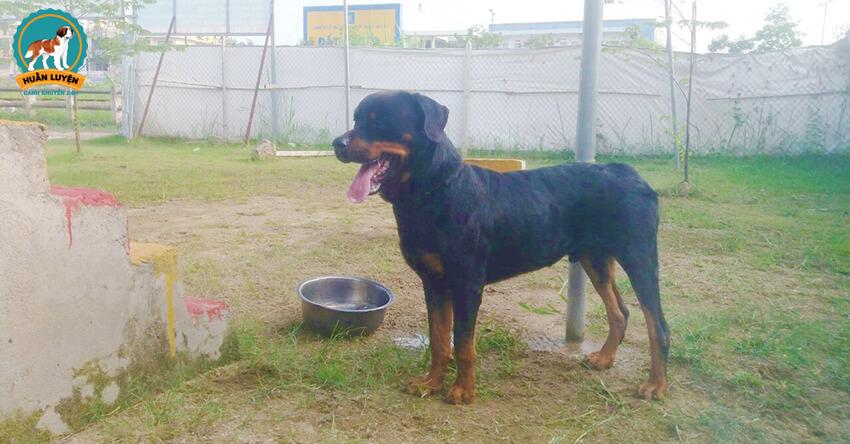 ban-cho-Rottweiler-thuan-chung