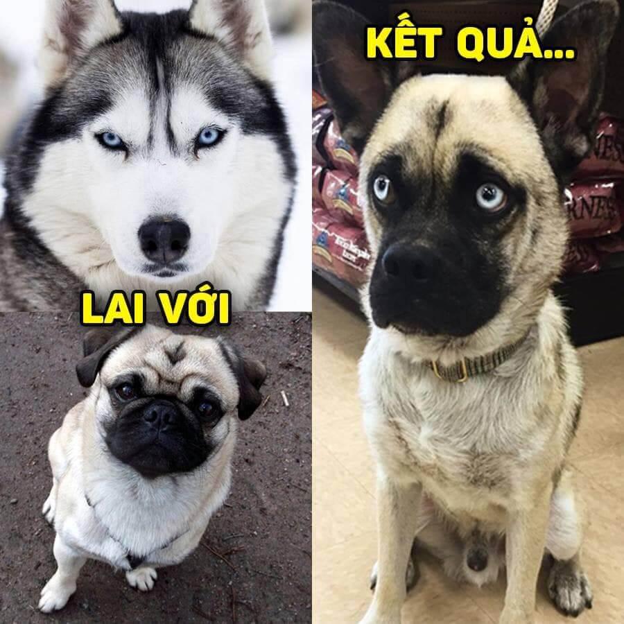 cho-pug-lai