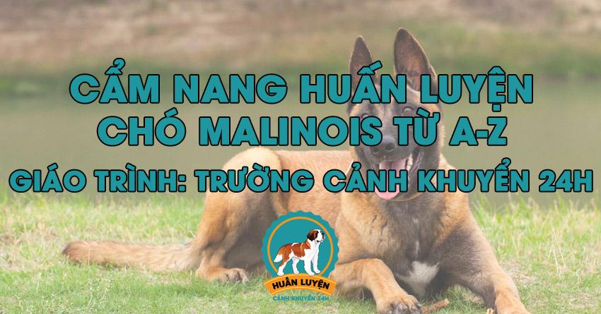 Cách huấn luyện chó Malinois đơn giản tại nhà
