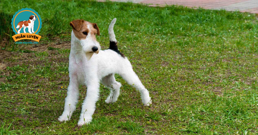 fox-terrier-dog
