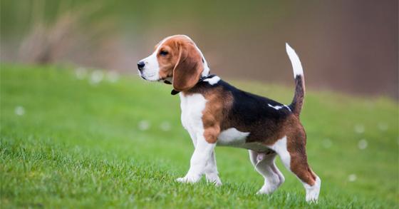 huan-luyen-cho-beagle