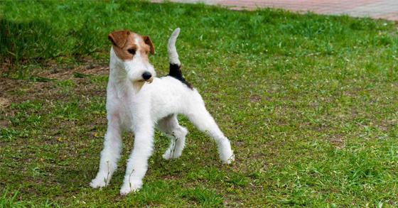 huan-luyen-cho-fox-terrier