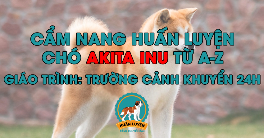 Cách huấn luyện chó Akita Inu đơn giản tại nhà