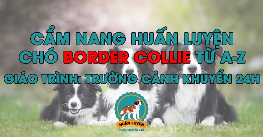 Cách huấn luyện chó Border Collie đơn giản tại nhà